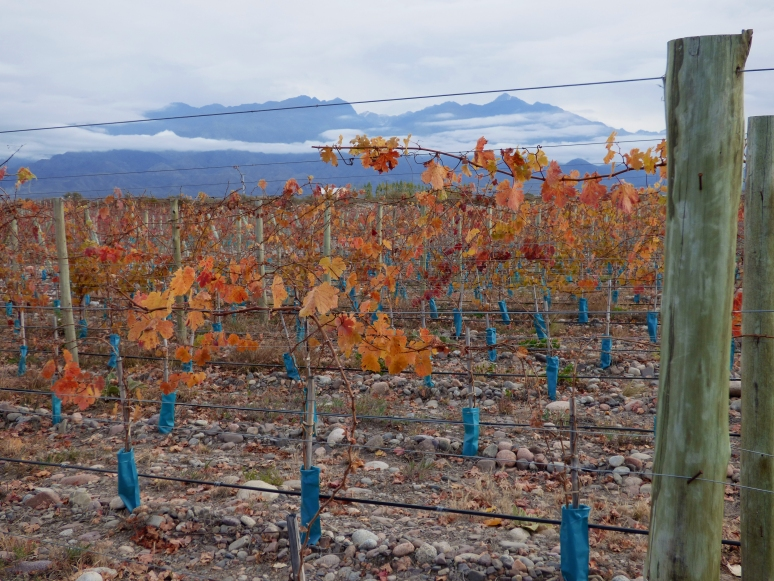 Fall colors cling to a vineyard in Valle De Uco, Mendoza