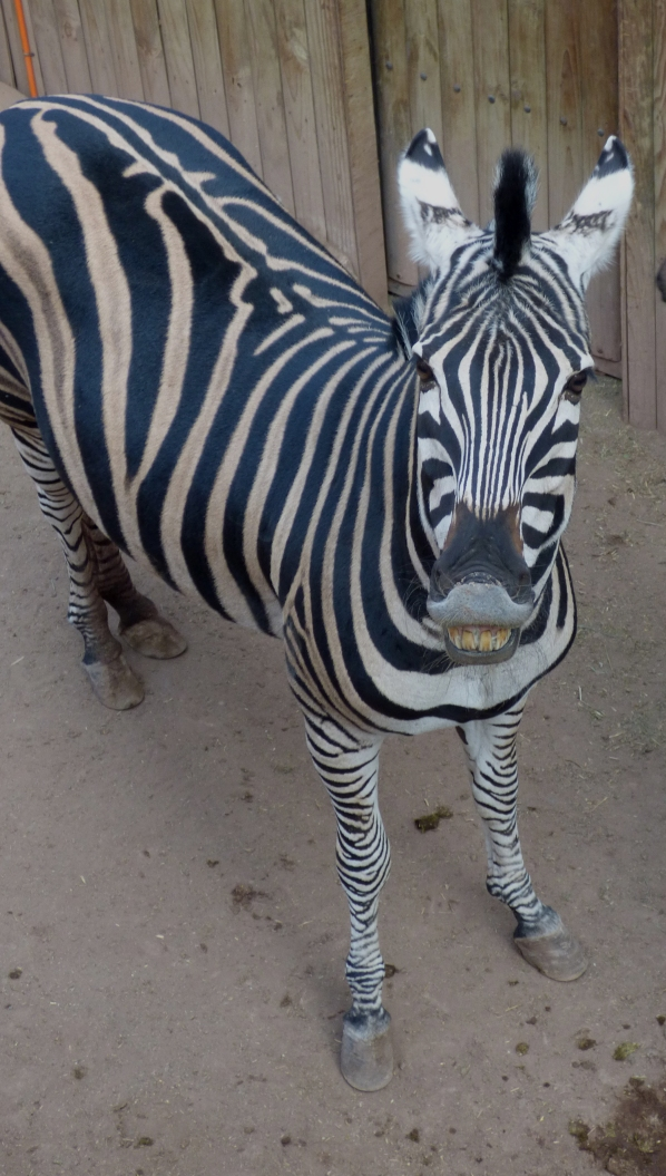 When I say cheese, the zebras all smile for me!