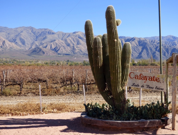 A cactus grows next to the vineyards of Cafayate, nestled next to the mountains at the end of Valle Calchaquies.