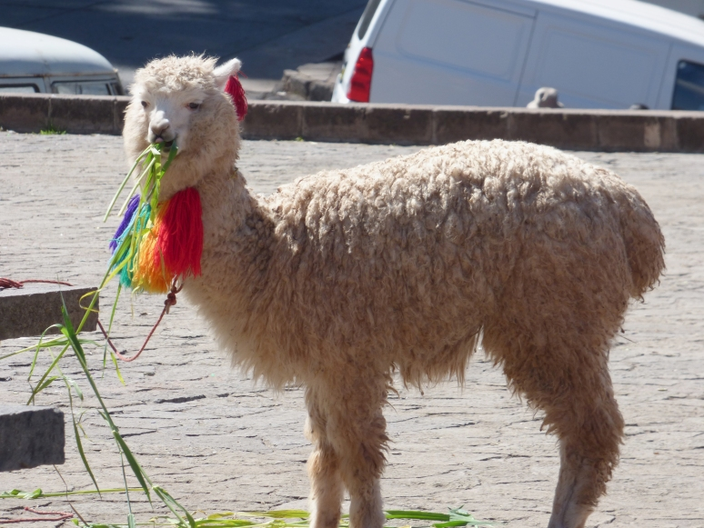 A llama snacks while wondering why it has a rainbow tied around it's neck... ;)