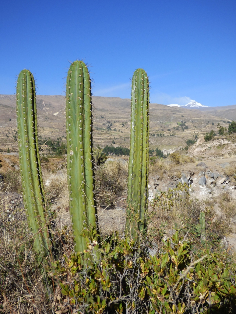 A cactus sits as Volcán Sabancaya smokes in the background