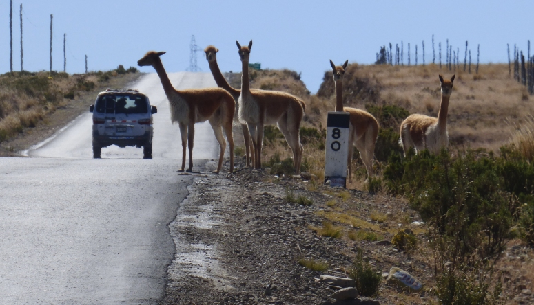 A pack of llamas cross the road, choosing to do so only when we are close enough for them to be in our way... ;)