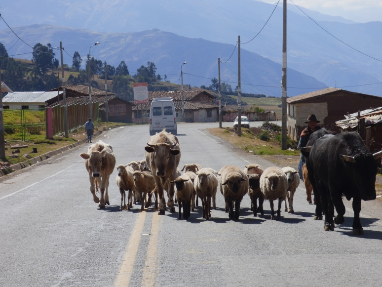 The Peruvian Stand-off... Cattle and Sheep vs. Us