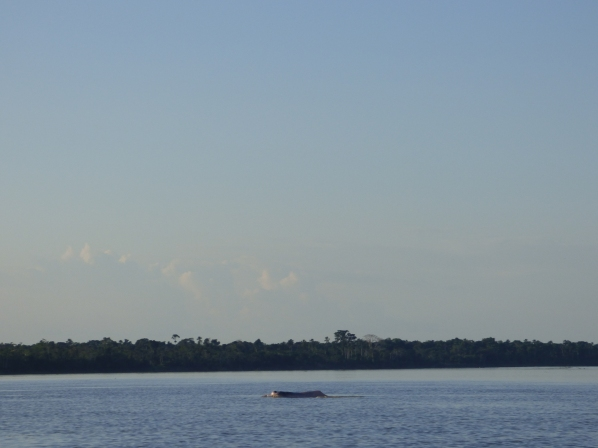 A dolphin rises for air in the Amazon River