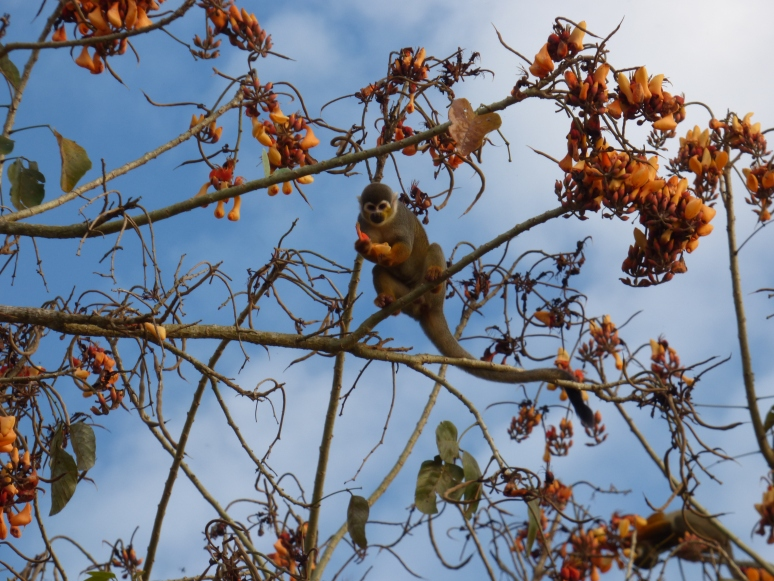 A monkey snacks in the treetops
